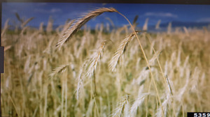 Wanted: Cereal Rye