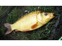 """Hybred fish for sale 6"""""""