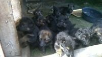CKC reg. German Shepherd Puppies