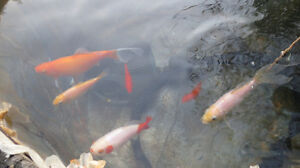 6 poissons rouges