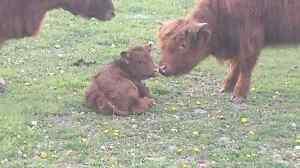 Scottish highlander cattle