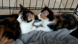 Now only 2 Gorgeous Calico Playful Fluffy Kittens left For Sale
