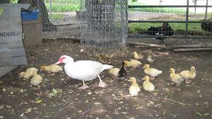 Muscovey ducklings