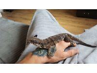Spiney tailed iguana and Viv