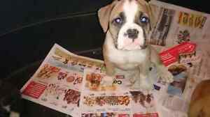 Four blue ribbon olde english bulldogge females are ready to go!