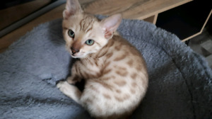 Chatons bengal pures tout inclus
