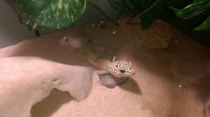 Terrarium avec gecko