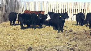 Commercial replacement heifers