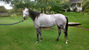 Cute 6 Year Old Thoroughbred Mare