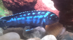 Electric blue mbuna and other cichlids