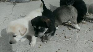 Husky Labrador mix puppies