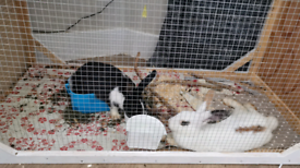 Two sisters Bunnies needs Rehome