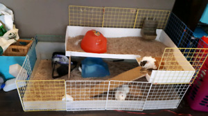Guinea Pigs to Rehome.  150 dollars