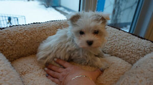 ~ MORKIE puppies~2 T.CUPS + 1 MINI~ STUNNING DOLLY FACES!