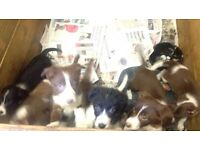 Border Collie X Beardie Collie Pups For Sale