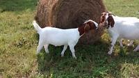 Boer Goat Doelings