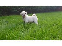 Gorgeous Rare White Pug Puppies - KC Registered