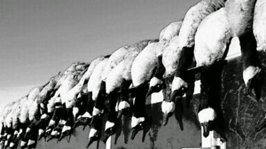guided goose hunts!!