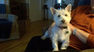 Volunteering with Westies in Need rescue West Island Greater Montréal image 1