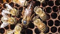 Looking for Beekeeper selling Nucs