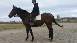 Tb gelding for sale