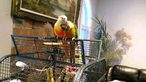 Green cheek and Pineapple pair Conure birds for sale.
