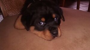 Rotweiller Puppy for sale