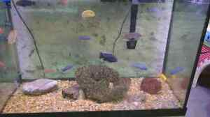 Assorted African cichlids  Kitchener / Waterloo Kitchener Area image 2