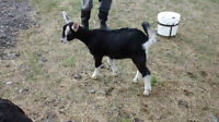 Female Baby Goats For Sale!
