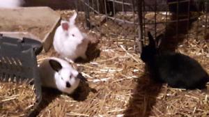 Lion head/ Holland lop female bunnies  (only 2 left)