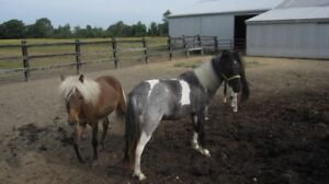 Two Year Old Pony Gelding