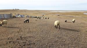 Sheep/lambs pairs