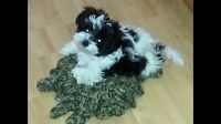 Looking for male Shih Tzu puppy