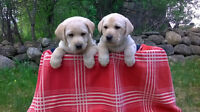 Yellow Labrador Retriever Pups SORRY BOTH ARE SOLD