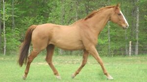 I am looking for a horse or pony!!! Stratford Kitchener Area image 1