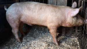 Selection of 3/4 Duroc boars