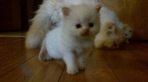 Flame point himalayan kittens
