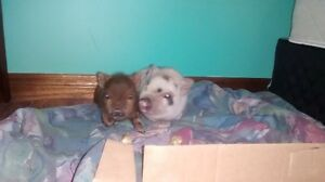 REAL MICROPIGLETS-2 for sale