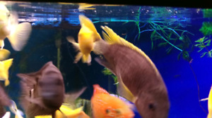 yellow acei cichlid (6 inch)