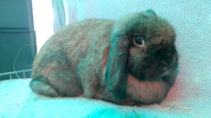 """Holland Lop """"Boo"""""""