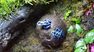 Dart frogs and cultures!
