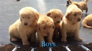 Pure bred golden retriever  puppies!