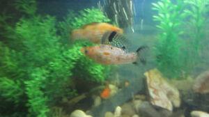 Groupe de 4 beaux Molly moucheté noir/orange en santé