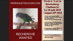 Lost parrot - Brownsburg Chatham (August 10th)