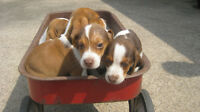 Pure-Breed Beagle Pups For Sale