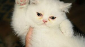 Exotic Shorthair Kitten! Baby Boy!