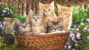 ❤12 X Maine Coon males/females tiny cuties