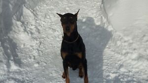 Male Doberman