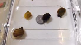 Aquarium snails - mystery snails