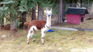 Intact male alpaca for sale